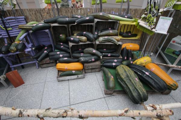 Diese Zucchinis reichten Gartenfreunde in die Wertung ein. Foto: bit