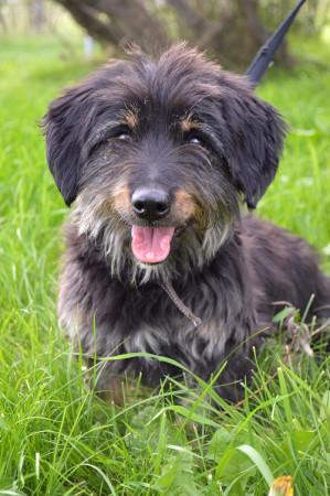 Der süße Dackel-Terrier-Mix hat typisch für diese beiden Rassen seinen eigenen Kopf - Jagdhund eben. Foto: Tierfreunde helfen Tieren in Not e. V.