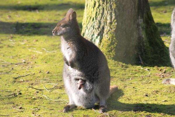 Besonders wenn die Sonne scheint, lugt das kleine Bennettkänguru jetzt schon gern mal aus dem Beitel seiner Mutter. Foto: S. Große, Tierpark
