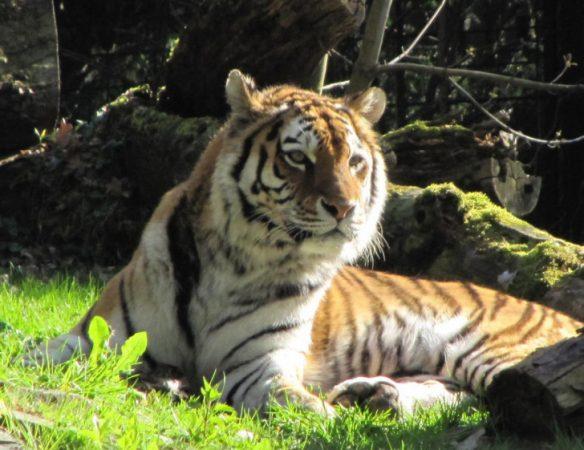 Tigerin Taiga musste eingschläfert werden. Foto: Stadtverwaltung Chemnitz